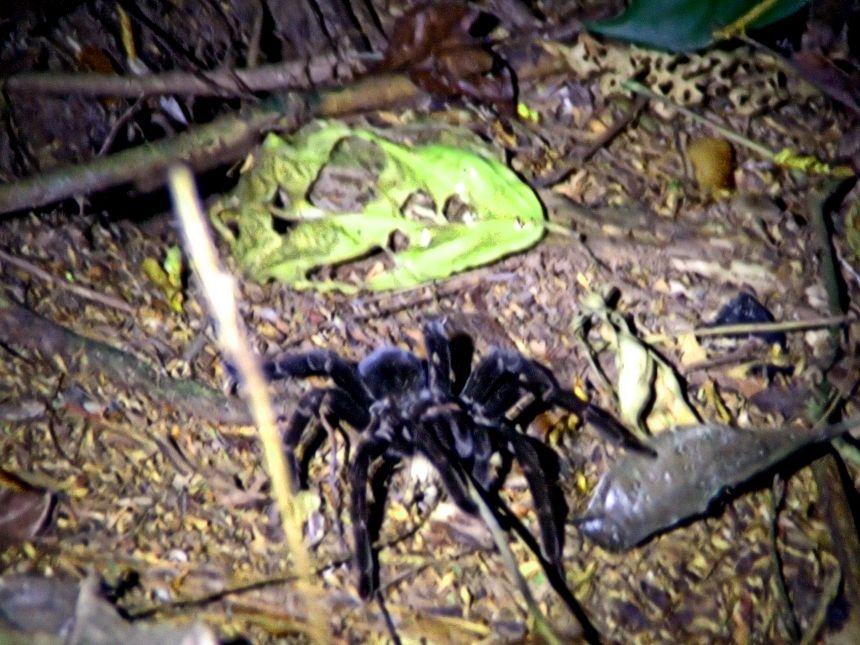 tarántula de la selva peruana