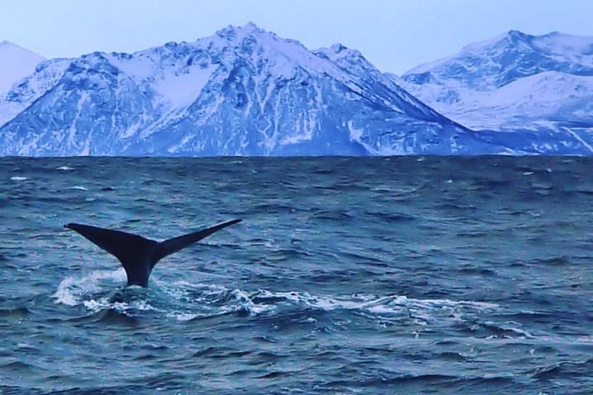 avistamiento de Ballenas en Andenes