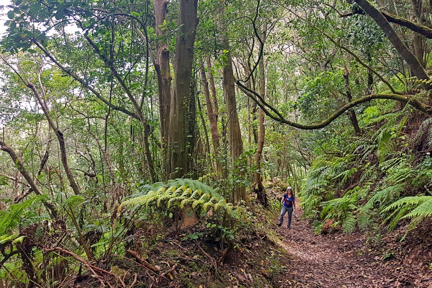 Bosque de Laurisilva en el Parque Rural de Anaga