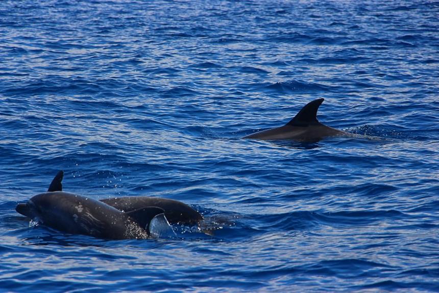 Delfines mulares nadando