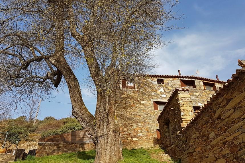 Peral de La Hiruela, árbol bicentenario