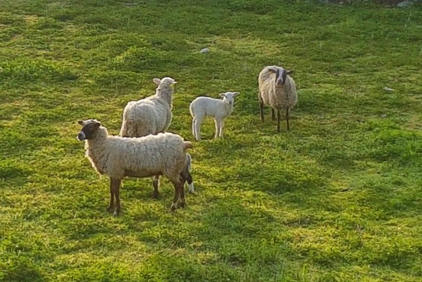 ovejas en la Sierra Norte