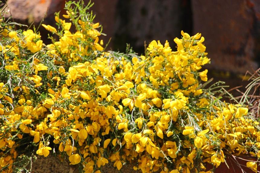 detalle de piornos en flor
