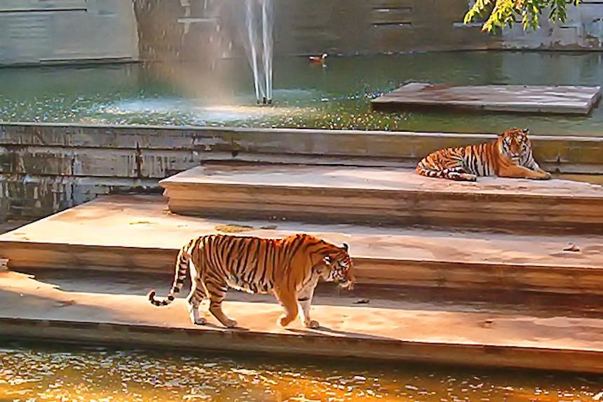 Tigres en el zoo de Madrid