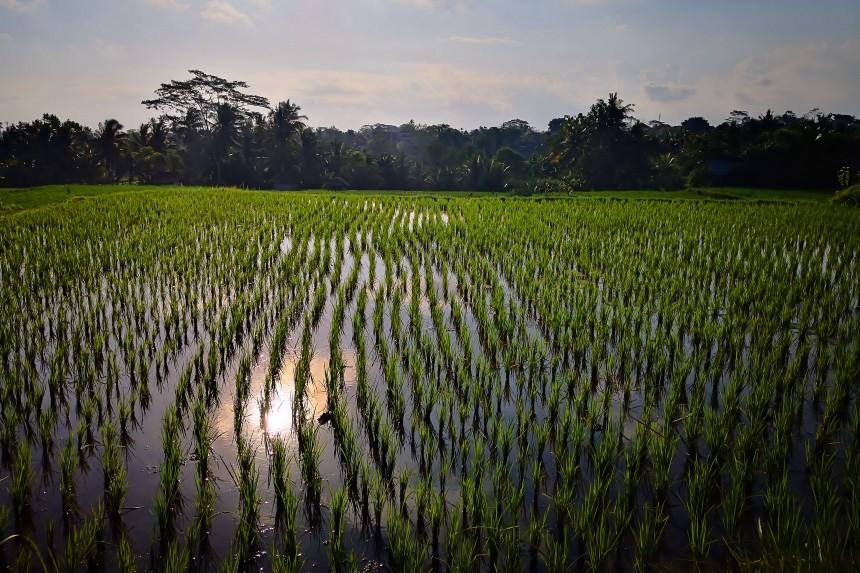 atardecer en los arrozales de Ubud