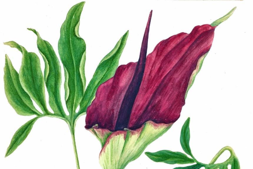 Dranunculus vulgaris o Zaragutía