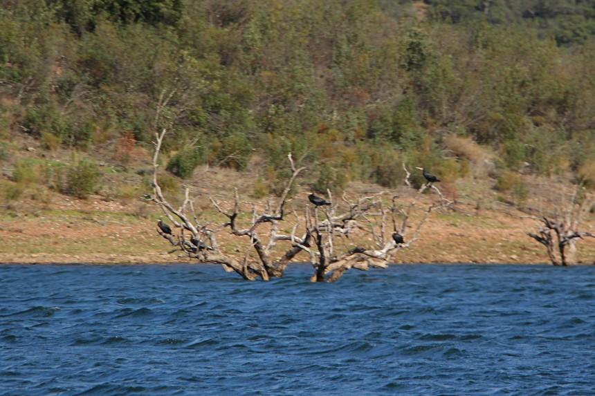 aves en el Gran Lago Alqueva