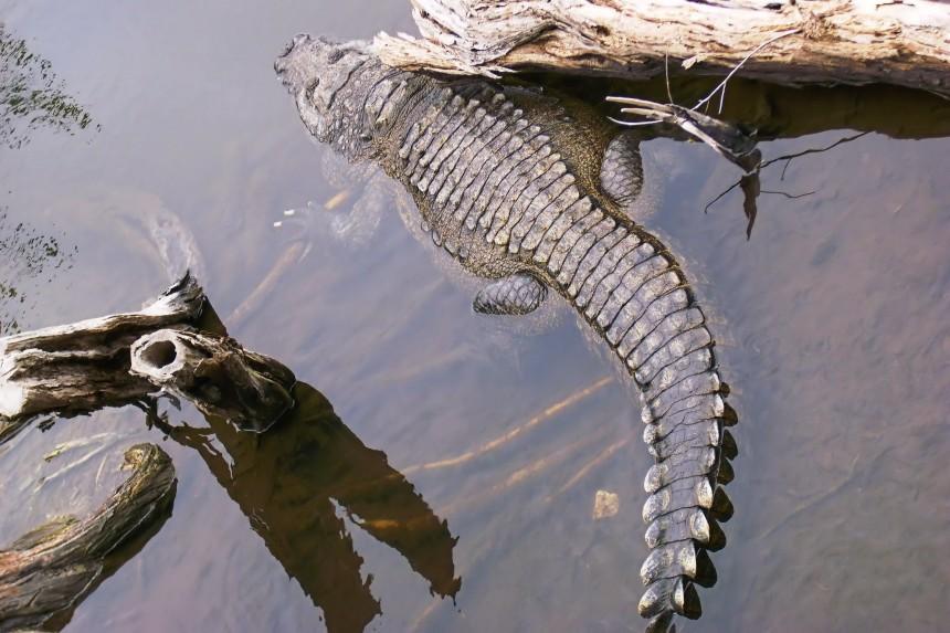 cocodrilo mexicano