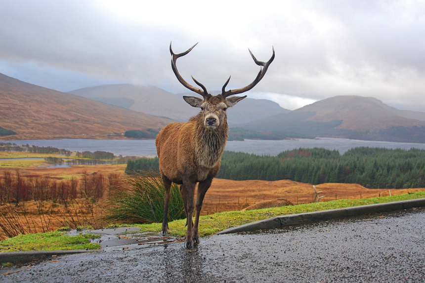 ciervo en las Highlands