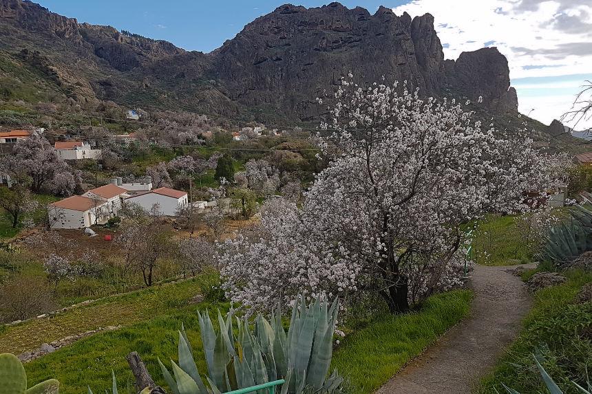 almendros en flor de Tejeda